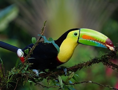 costa rica keel billed toucan